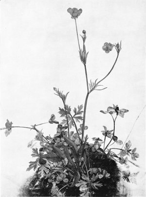 Albrecht Durer - Butter Cups, Red Clover and Plantain